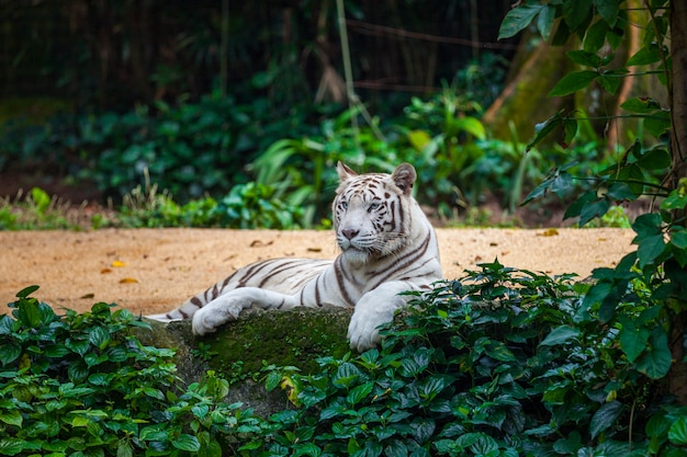 White bengal tiger Premium Photo