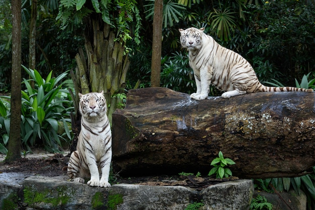 White bengal tigers in a jungle Premium Photo