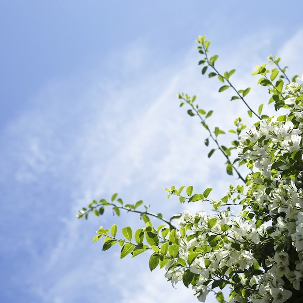 White bougainvillea flowers with blue sky copyspace Free Photo