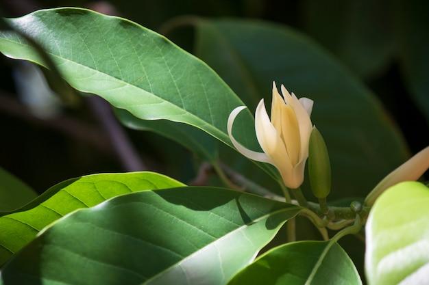 White champaka tree and green leaf Premium Photo