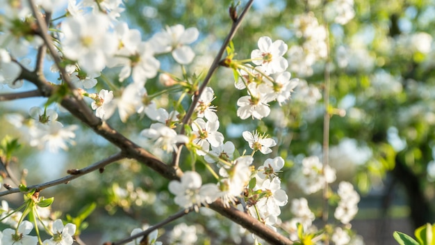 White cherry flowers bloom in spring Premium Photo