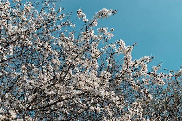 White cherry tree flowers in spring garden over sky background Premium Photo
