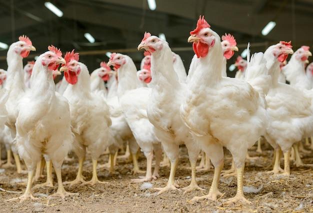 White chickens farm Premium Photo