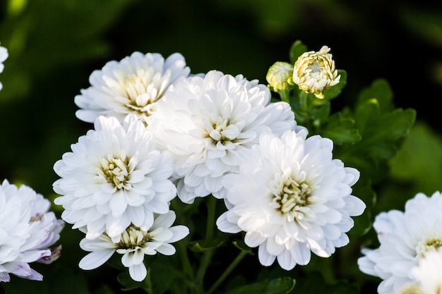 White chrysanthemum flower grow in the field photo premium download white chrysanthemum flower grow in the field premium photo mightylinksfo
