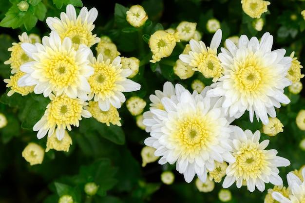 White chrysanthemum flower with yellow center photo premium download white chrysanthemum flower with yellow center premium photo mightylinksfo