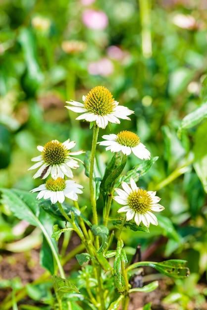 Белый эхинацея (echinacea purpurea) популярное растение для привлечения медоносной пчелы Premium Фотографии