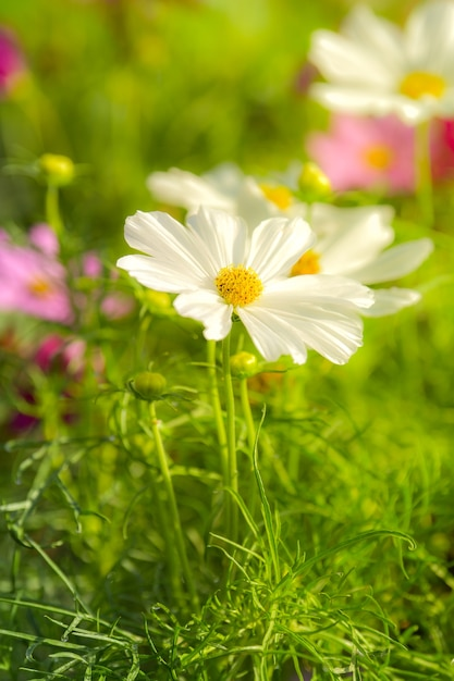 White Cosmos Flower In Cosmos Field Photo Premium Download