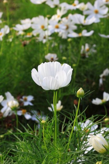 White cosmos flowers in garden photo premium download white cosmos flowers in garden premium photo mightylinksfo