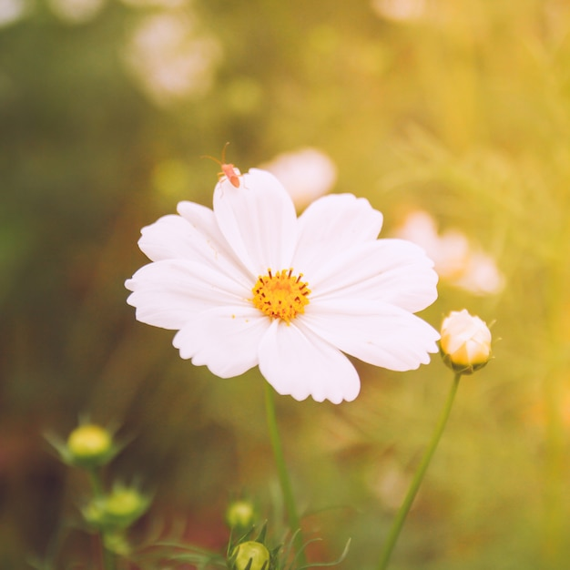 White Cosmos Flowers In Vintage Style Photo Free Download