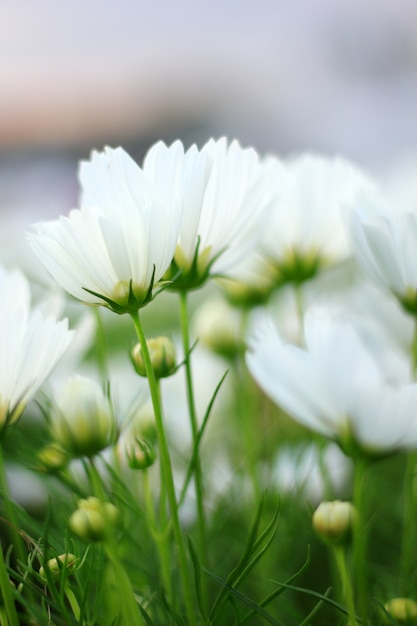 White Cosmos Flowers Photo Premium Download