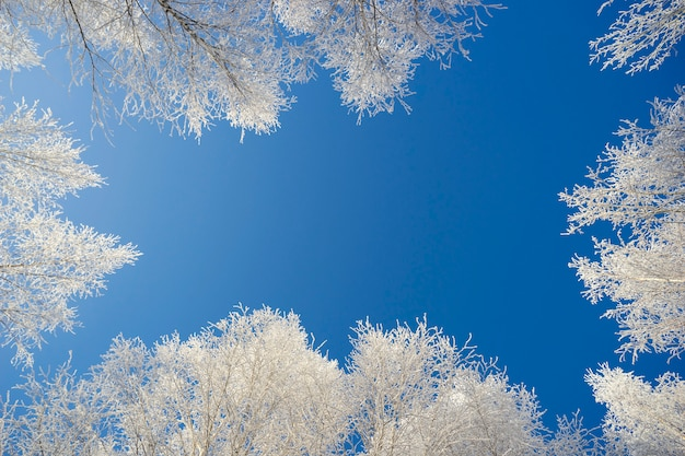 White crowns of birches against the blue sky Premium Photo