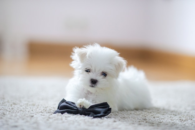 White cute maltese puppy, 2 months old looking at us Premium Photo