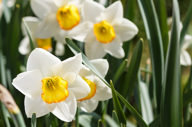 White daffodil (narcissus) with orange and yellow center Premium Photo