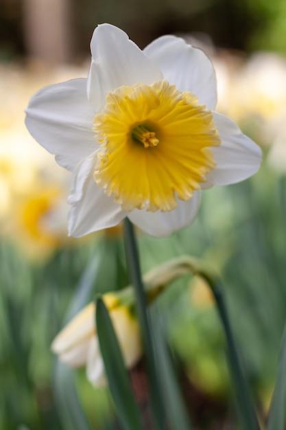 春に咲く黄色のセンターと白い水仙 無料写真