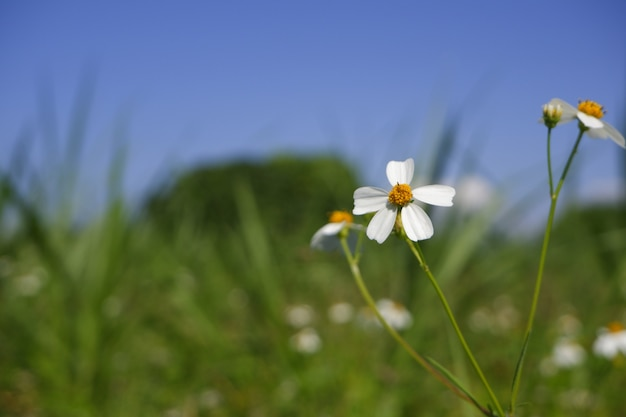 White daisy flower bloom in nature Premium Photo
