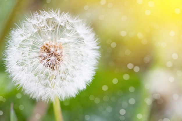 White dandelion, closeup, natural spring background Premium Photo