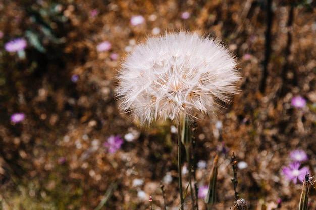 White dandelion in the field Free Photo