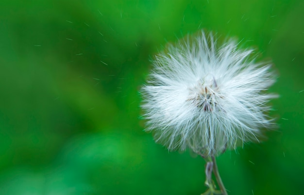 White Dandelion And Pollen Blowing Away Across A Fresh Green