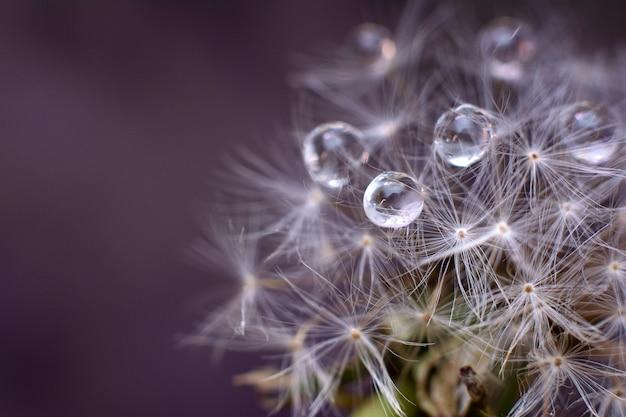 White dandelion with water drops Premium Photo