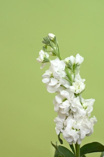 White delphinium flower for background photo premium download white delphinium flower for background premium photo mightylinksfo