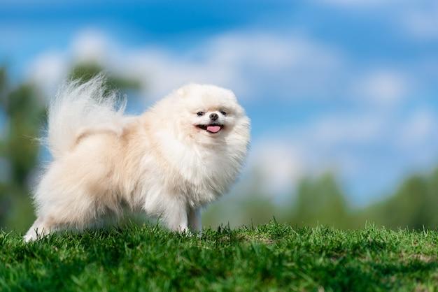 White dog breed spitz on green grass on blue cloud sky. Premium Photo