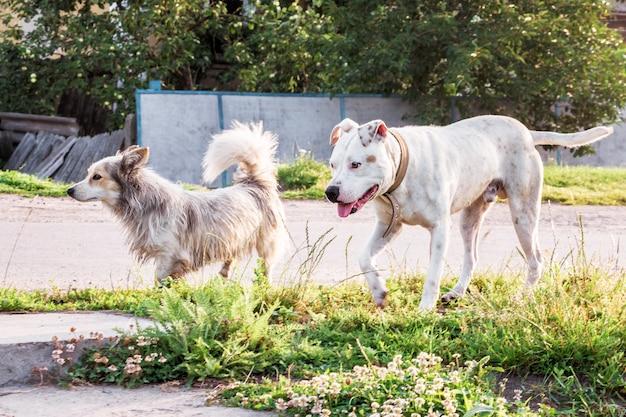 Белая собака питбуль на прогулке с дворнягой. две собаки во время прогулки по деревенской улице Premium Фотографии