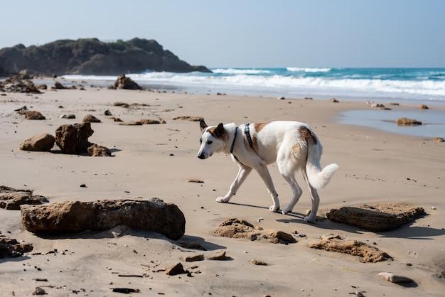 青い空と日光の下で海に囲まれたビーチを走る白い犬 無料写真