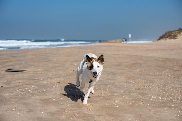 Cane bianco che attraversa una spiaggia circondata dal mare sotto un cielo azzurro e la luce del sole Foto Gratuite