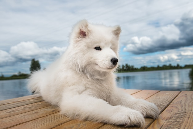 Белая собака щенок самоеда гуляет у воды в солнечный день Premium Фотографии