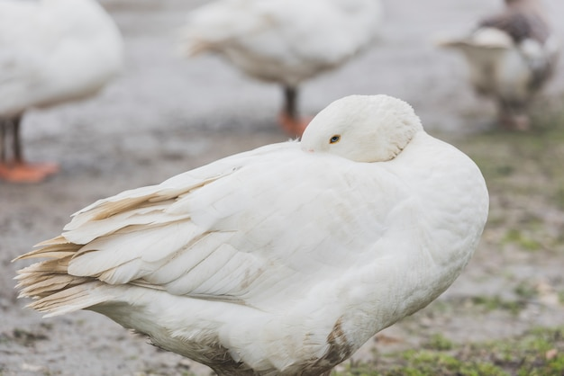White duck cleaning feathers Free Photo