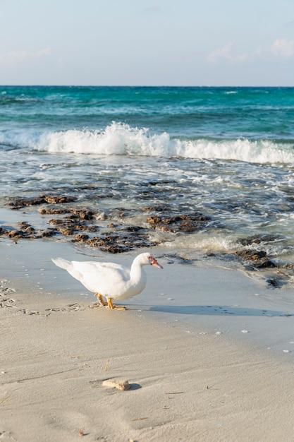 晴れた日にはターコイズブルーの海と砂浜に白いアヒル。美しい風景。 Premium写真