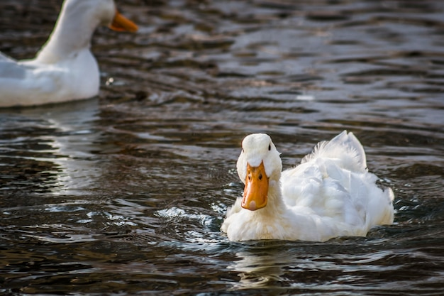 White duck swims in a pond, close-up Premium Photo
