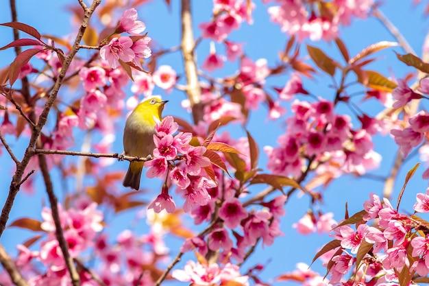 桜と桜の白目鳥 Premium写真