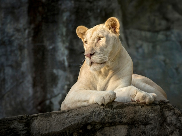 Premium Photo | White female lion in the zoo's natural atmosphere.