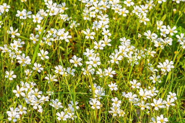 White field flowers on a sunny day Free Photo