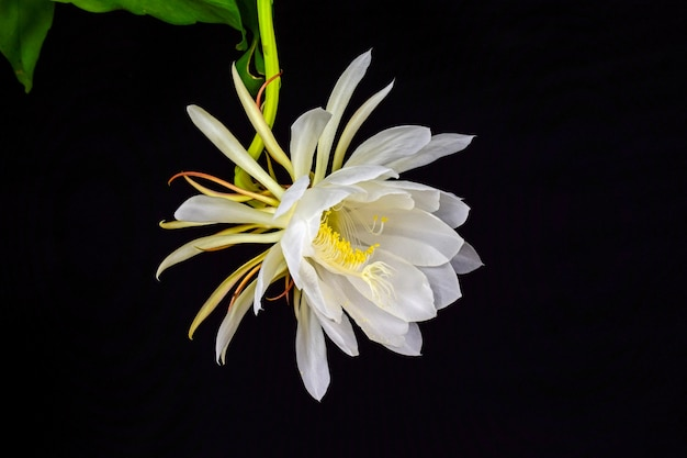 white flower on black background photo  free download, Beautiful flower