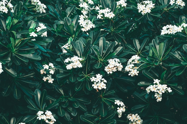 White frangipani flowers or plumeria Premium Photo