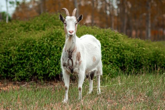 植生を背景にした牧草地の白いヤギ。 Premium写真
