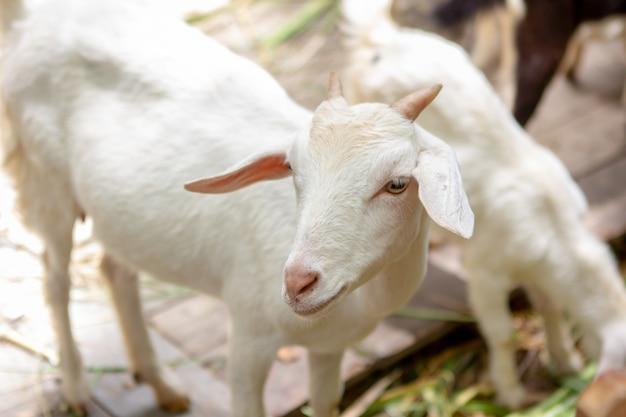 White goat standing in a grassy enclosure. Premium Photo