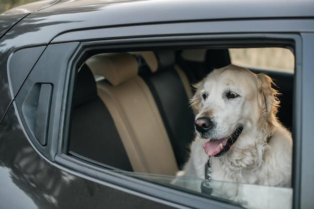 Белая собака золотистого ретривера в машине Premium Фотографии