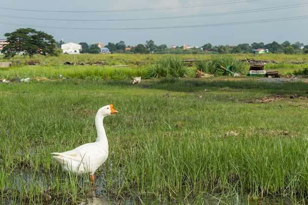 White goose on the grass in the water. Premium Photo
