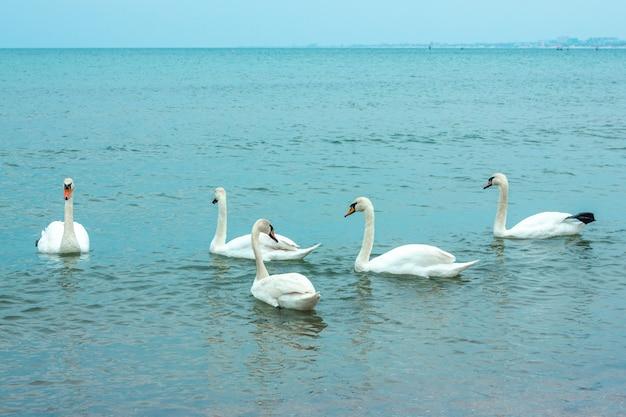白い優雅な白鳥が海を泳ぐ Premium写真