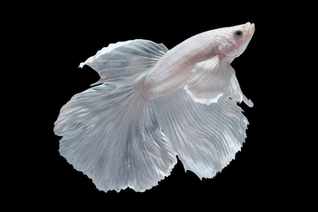 White Halfmoon Betta fish Photo | Free Download