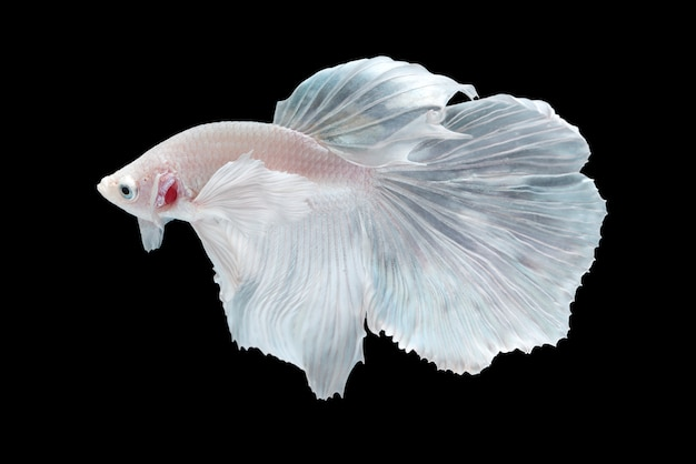 White Halfmoon Betta splendens fish Photo | Free Download
