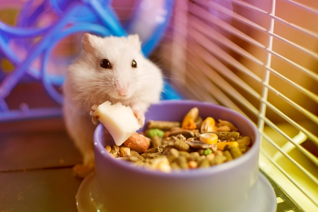 White hamster eating a piece of cheese from his food plate Premium Photo