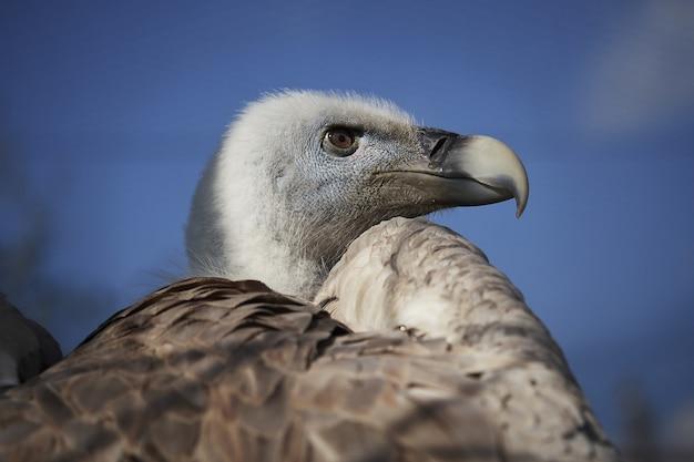Avvoltoio dalla testa bianca su sfondo blu cielo Foto Gratuite