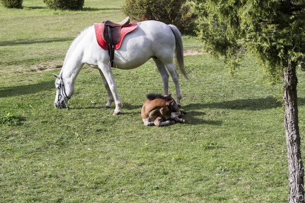 A white horse and a brown foal lying on a green meadow Premium Photo