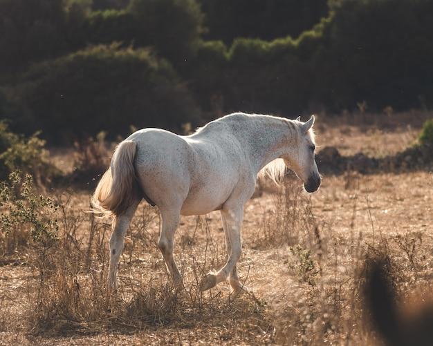 日没時に歩く白い馬 無料写真