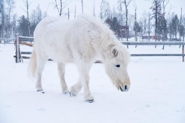 スウェーデン北部の雪原を歩く白い馬 無料写真