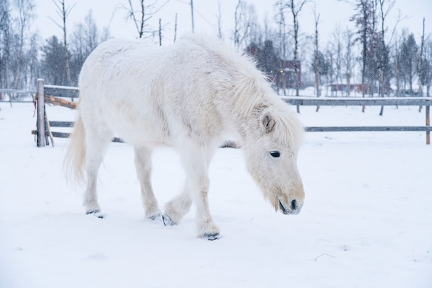 White horse walking on a snowy field in the north of sweden Free Photo